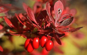 Полезные свойства барбариса для здоровья