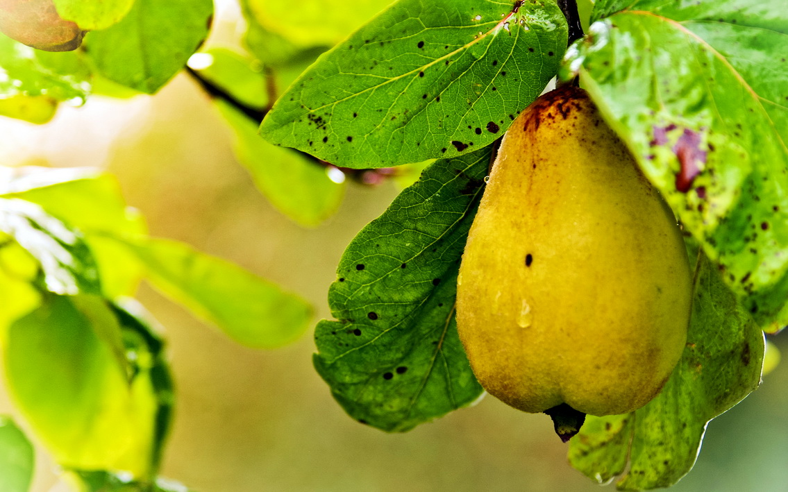 Чем полезны груши для организма человека