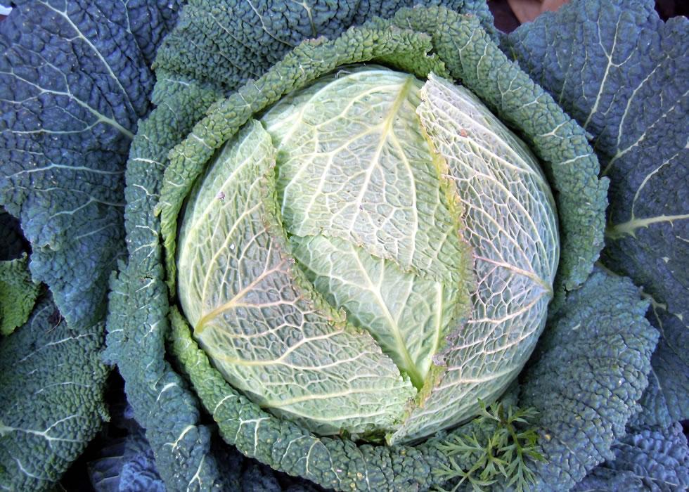 Чем полезна савойская капуста?