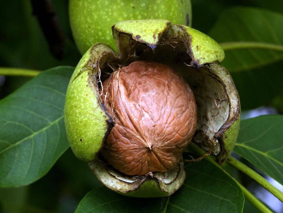 Грецкий орех и его полезные свойства