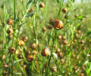 Льняное поле: полезные свойства семян льна