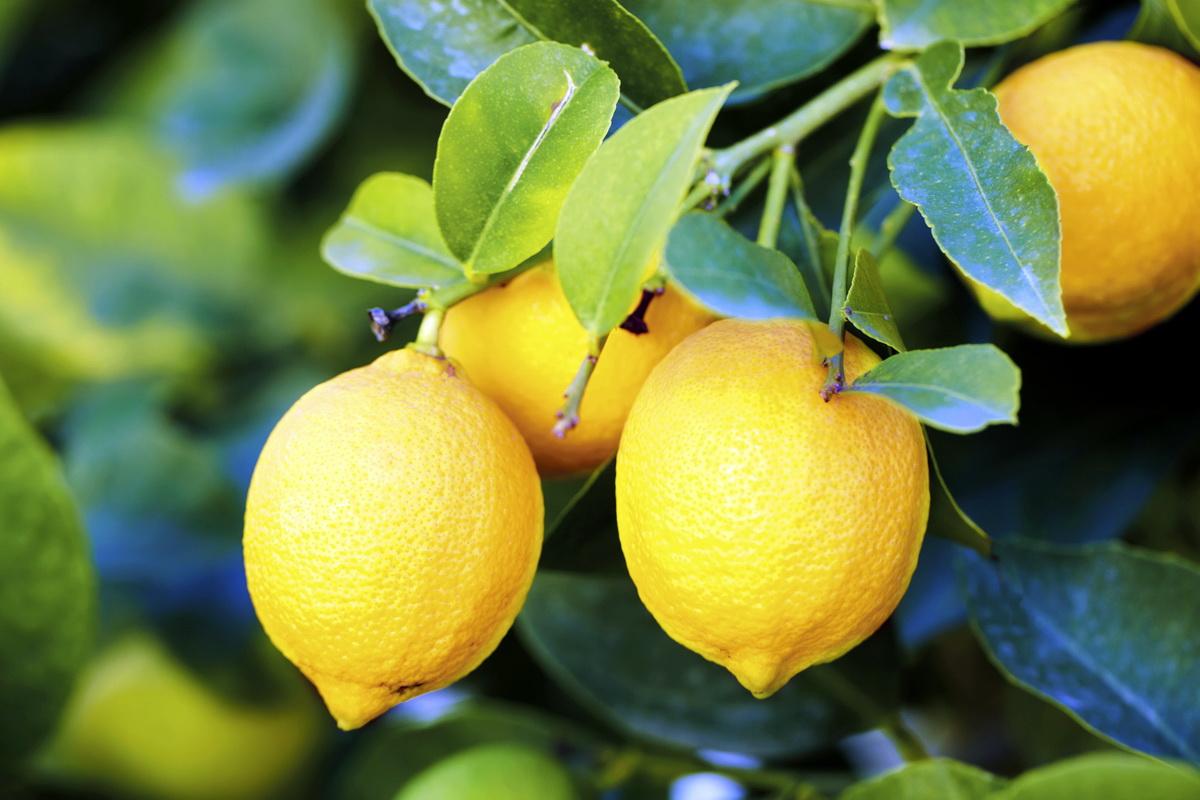 Чем полезны лимон: польза и вред лимонов