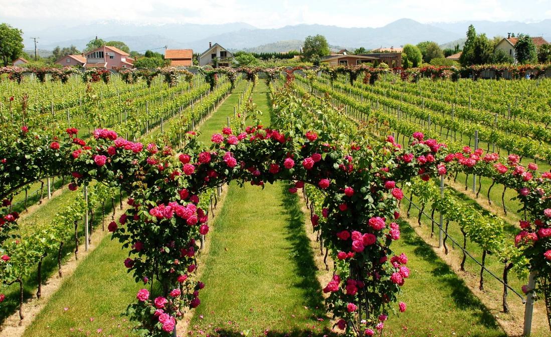 Что привезти из Черногории - черногорское вино