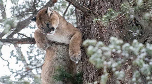 Фауна парка Джаспер в Канаде - дикая рысь