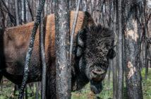 Национальный парк Вуд-Баффало, Канада