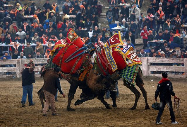 Праздники Турции: верблюжьи бои
