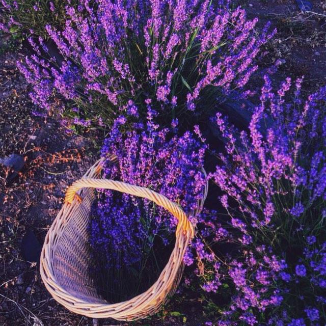 Лавандовые поля Прованса - Горд, Франция