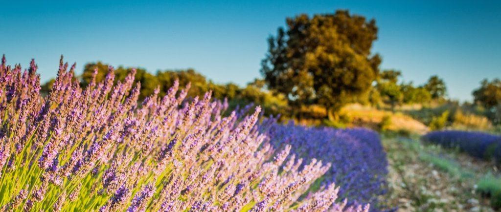 Долина Люберон в период цветения лаванды (Прованс, Франция)