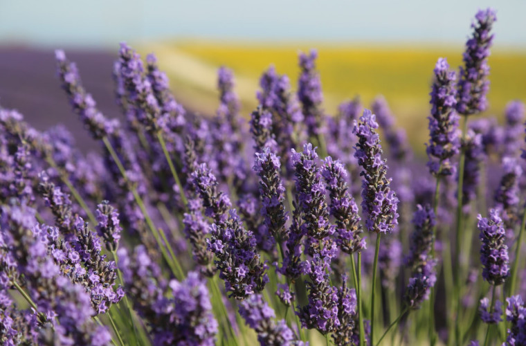 Период, когда в Провансе цветет лаванда