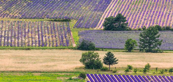 Лавандовые поля в окрестностях города Сол (Прованс, Франция)