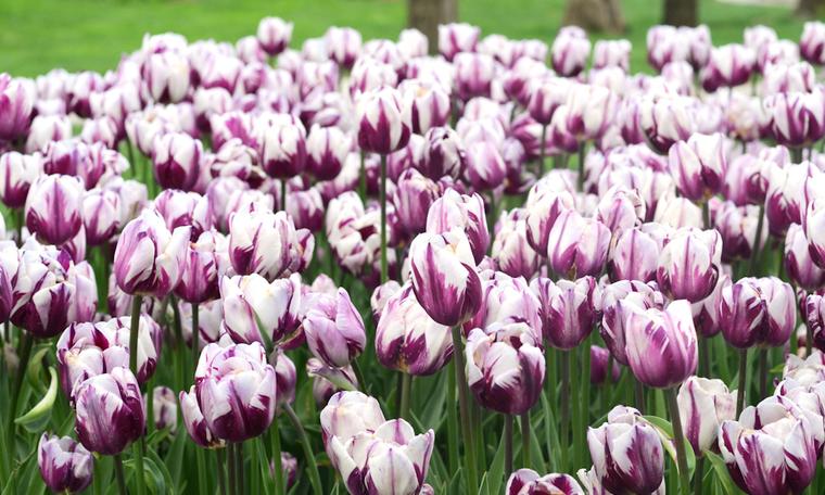 В парке Эмирган более 90 сортов тюльпанов (Стамбул, Турция)