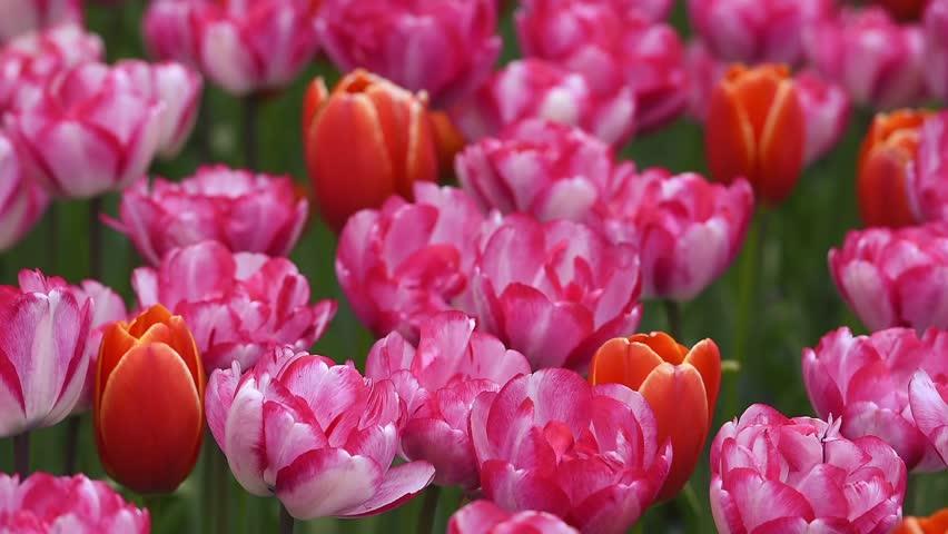 Тюльпаны в районе Топкапы (парк Гюльхане, Стамбул)