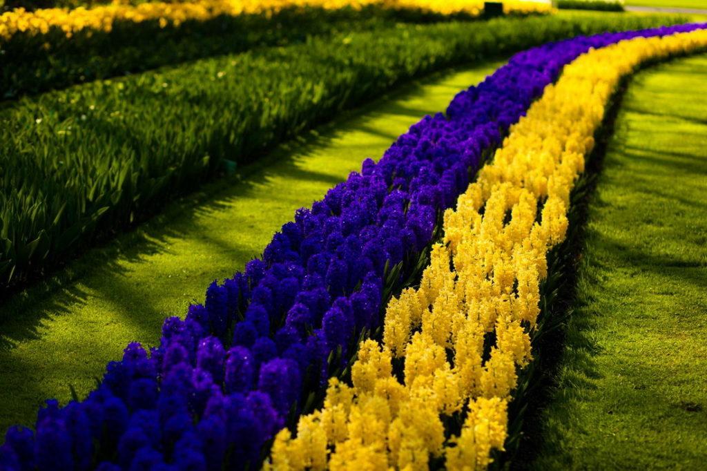 Фестивали Нидерландов: цветение тюльпанов в Кёкенхофе
