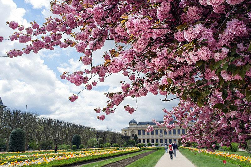 Цветение вишни в Париже в районе Малого дворца