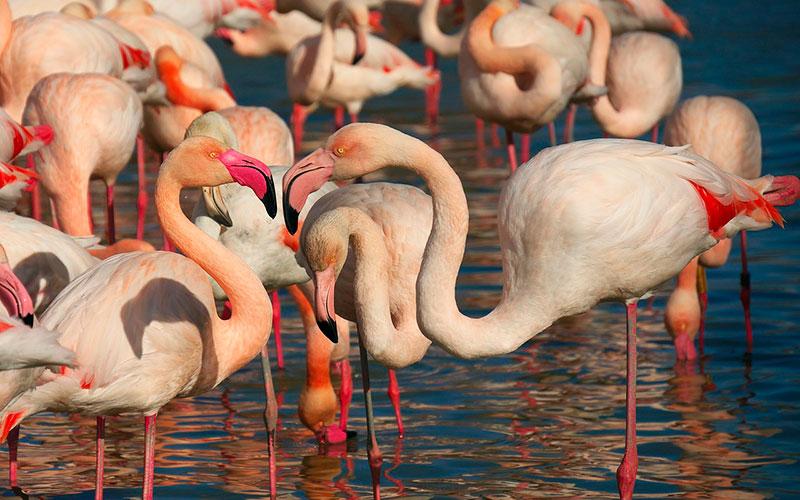 Розовые фламинго Камарга (Франция)