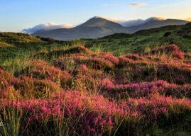 Где и когда в Ирландии цветет вереск?