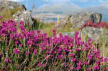 Цветение вереска в Ирландии