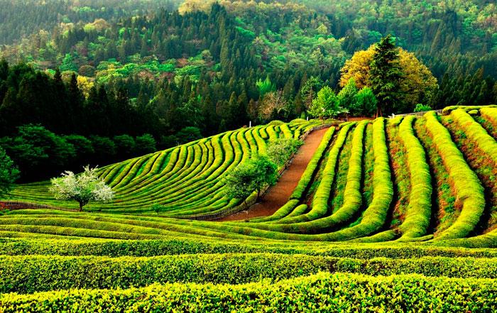 Зеленый и черный чай — одно и то же растение!