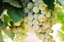 Лучшие винодельни Прованса: Белле (Bellet) прованс вино Винодельни Прованса: лучшие красные, белые и розовые вина luchshie vina provansa bellet 4 214x140