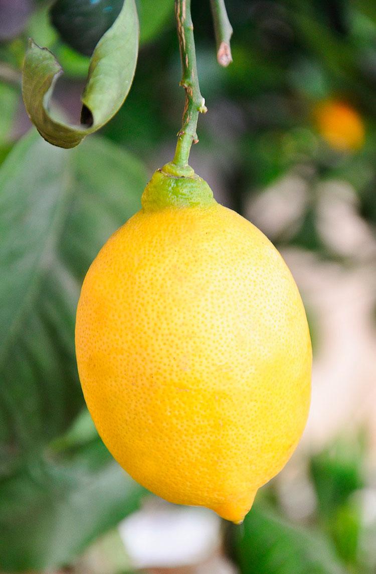 Лимон: гвоздь программы фестиваля в Ментоне