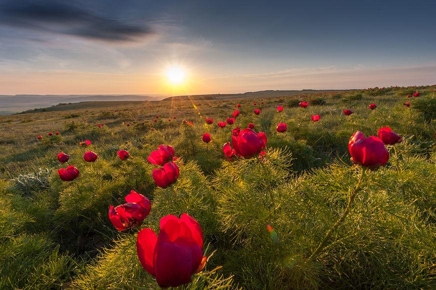 Дикие пионы в апреле, Крым