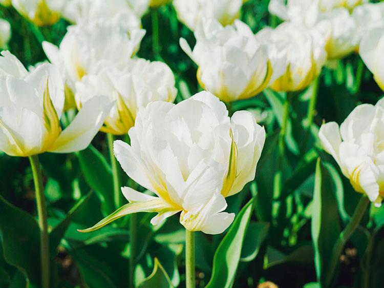 Крым в апреле: тюльпаны НБС