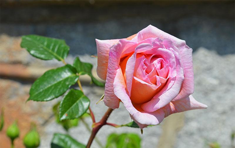 Карнавал ирисов и роз в Крыму
