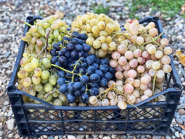 Дагестан в октябре, виноград